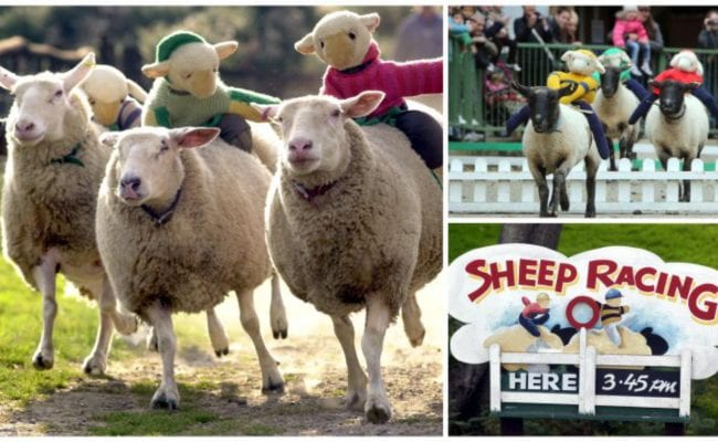 sheep racing with mini toy sheep on their backs